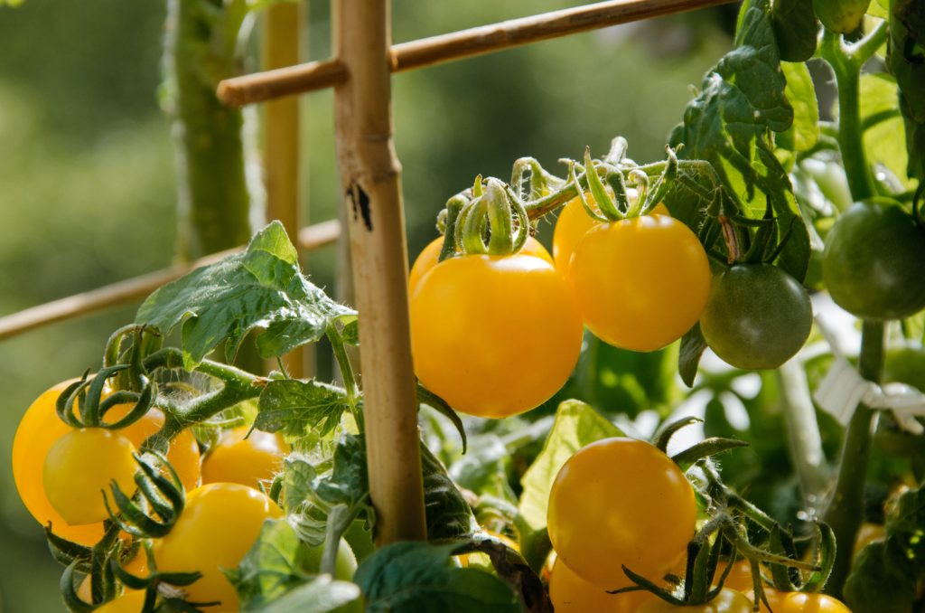 Closeup of yellow tomatoes in a greenhouse