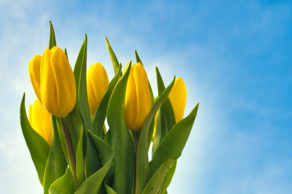 Bouquet of yellow tulips being held up against the clear blue sky
