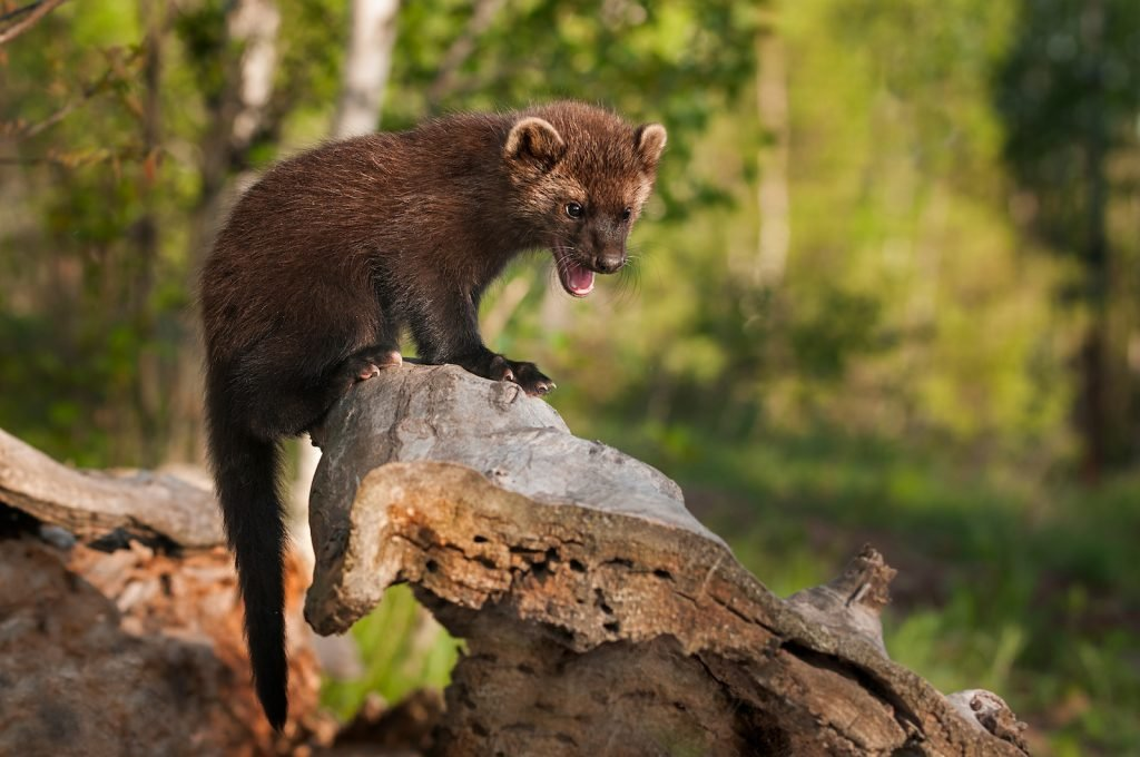 Young fisher cat sitting on top of a log in the forest