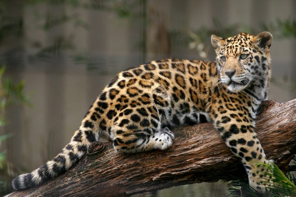 Young tan brown jaguar relaxing on a tree branch