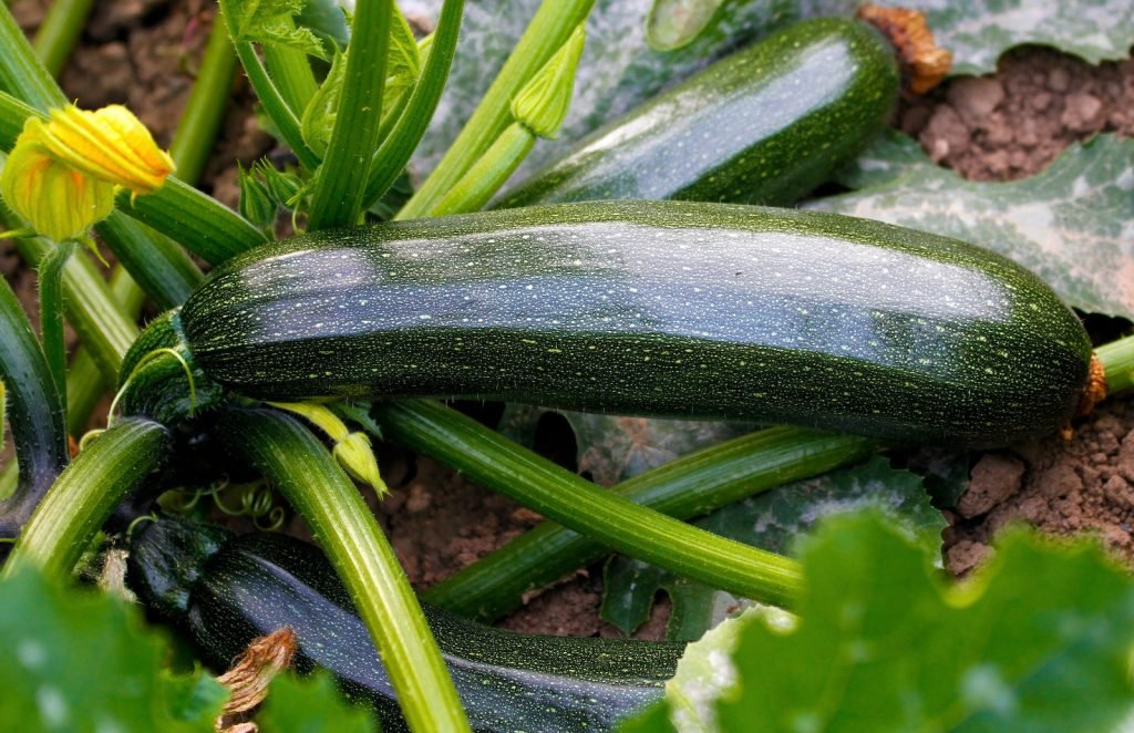 Dark green Zucchinis on a zucchini plant, ready to get harvested
